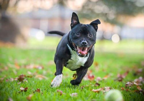 English Staffordshire Bull Terrier (Staffy)