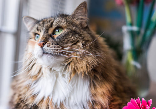 American Maine Coon