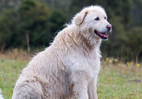 Maremma Sheepdog
