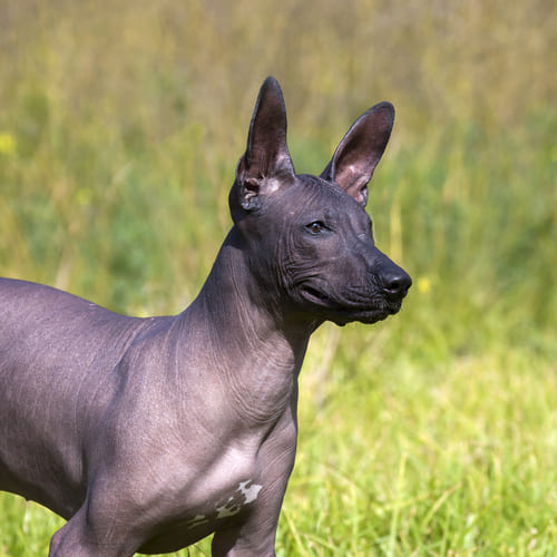 Mexican Hairless Breed - Facts - Traits - Health | Vets Choice | Vets Choice