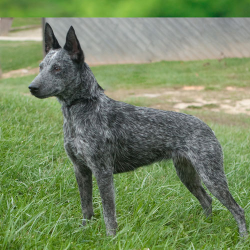 Sumpy Tail Cattle Dog