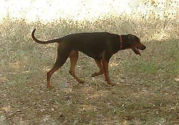 Yugoslavian Mountain Hound